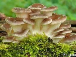 Вешенка рожковидная - мицелий грибов из лаборатории