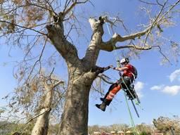 Видалення аварійних дерев: спилювання, обрізка та порізка