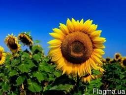 Винченцо, купить подсолнух, соняшник, Альфа Химгруп