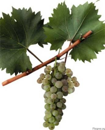 Виноград белых европейских сортов на вино Бьянка.