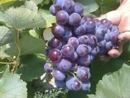 Виноград изабельных сортов на вино и соки.