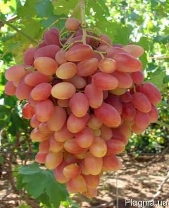 Виноград очень раннего срока созревания сорт Преображение