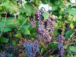 Виноград разных сортов от элитных до столовых
