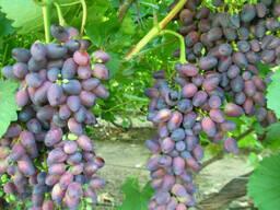 Виноград сорт Красотка