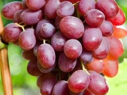 Виноград сорт Ливия купить в Украине