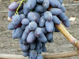 Виноград сорт Памяти Нигруля