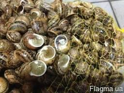 Виноградная улитка Helix/escargot/grape snail