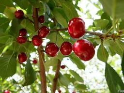 """Вишня """"Чернокорка"""" семена (10 штук) для саженцев, насіння."""