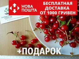 """Вишня """"Майка"""" семена (20 штук) для саженцев (насіння для. .."""