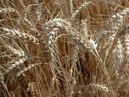 Високоінтенсивний сорт озимої пшениці Житниця Одеська
