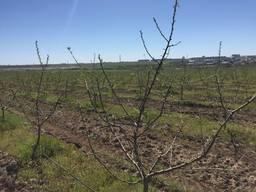 Яблочный сад 37 Га г. Херсон 300 тонн / год
