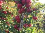 Яблоки Айдаред под хранение. Отличное качество - фото 2