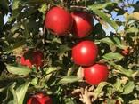 Яблоки Айдаред под хранение. Отличное качество - фото 3