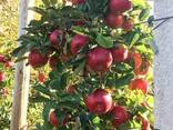 Яблоки Айдаред под хранение. Отличное качество - фото 4