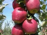 Яблоки Гала Gala, Голден Делишес, Джонаголд, Фуджи, Симиренк - фото 5