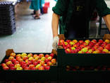 Яблоки из Польши - фото 1
