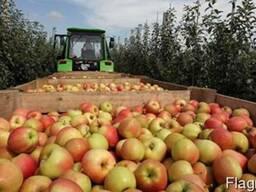 Яблоки оптом с холодильника