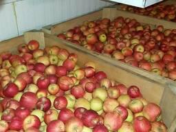 Яблоко экспортного качества