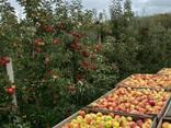 Яблука відмінної якості - фото 1