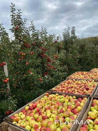Яблука відмінної якості