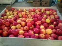 Яблука зимових сортів