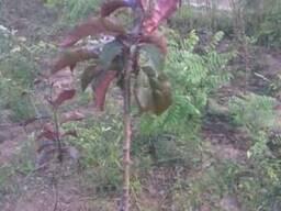 Яблуня Недзвецкого шаровидная краснолистная