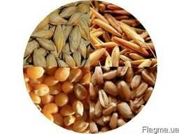 Ячмень, пшеница