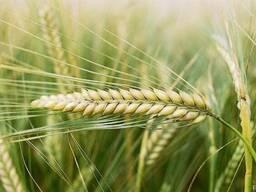 Ячмень, пшеница фуражная