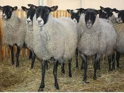 Ягнята, бараны, овцы живым весом 500 голов