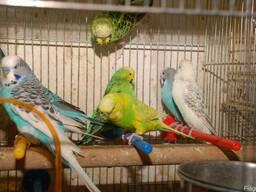 Яркие разноцветные попугайчики для разговора Выставочный чех
