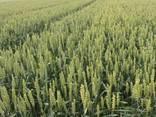 Яровый семена пшеницы немецкой селекции Тризо, Широкко КВС - фото 1