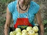 Ящик яблучный деревяный (кубик) - фото 2