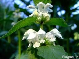 Ясно́тка бе́лая, біла кропи́ва цвет