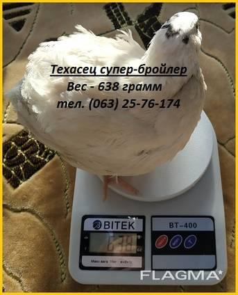 Яйца инкубационные перепела Белый Техасец - супер бройлер (С