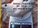 Яйца инкубационные перепела Белый Техасец - супер бройлер (С - фото 5