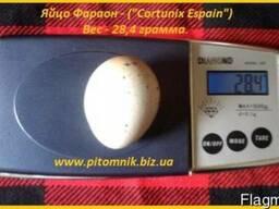Яйца инкубационные перепела Фараон (селекция Espana).
