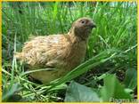 Яйца инкубационные перепела Феникс Золотистый - Франция. - фото 4