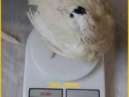 Яйца инкубационные перепела Техасец - бройлер (США - Texas)
