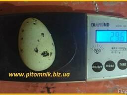 Яйца перепелиные BIO - премиум индоперепел.