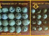 Яйца перепелиные BIO - премиум индоперепел. - фото 4