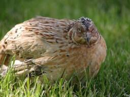 """Яйцо инкубационное перепелиное породы """"Феникс золотистый"""""""