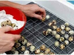Яйцо инкубационное в Крыму