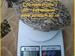 Яйцо инкубационные перепела Феникс Золотистый - (France). - фото 1