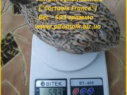 Яйцо инкубационные перепела Феникс Золотистый - (France).