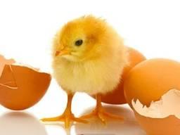Яйцо Кобб500 для инкубации
