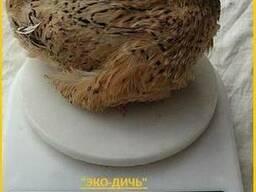Яйцо перепела инкубационное Феникс Золотистый.