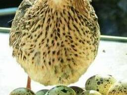 Яйцо перепелиное в Крыму