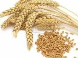 Насіння озимої пшениці Ера одеська, Кірія перша репродукція
