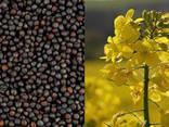 Закупаем кукурузу, пшеницу (дурум, спельта), рожь и рапс - фото 1