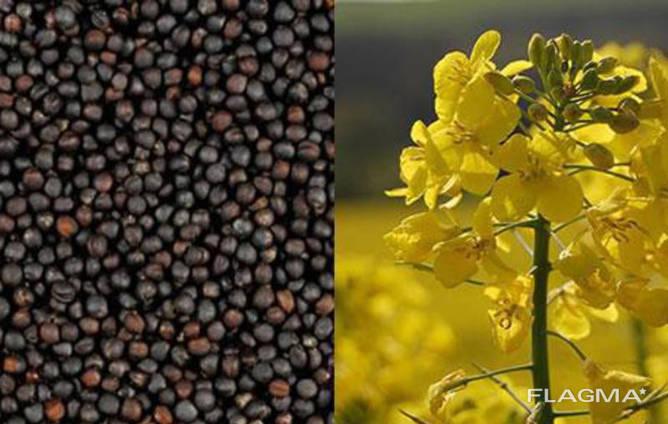 Закупаем кукурузу, пшеницу (дурум, спельта), рожь и рапс